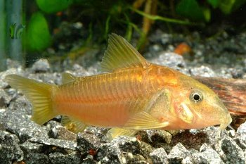 Características del pez Tachuela Limpiafondos