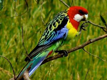El Periquito Multicolor o Periquitos Australianos