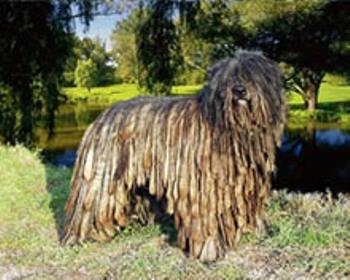 Pastor Bergamasco infatigable perro de pastoreo
