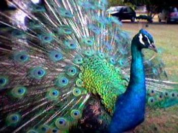 Carácter y comportamiento del Pavo Real Azul o Comun