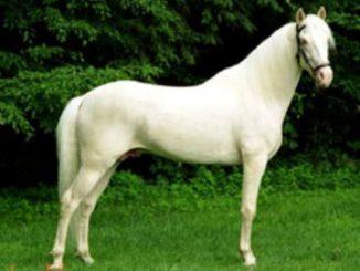 Caballo Albino originario de Estados Unidos