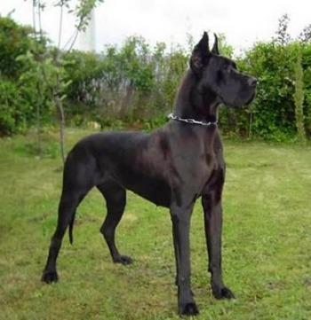 Dogo Aleman Negro también llamado Gran Danés