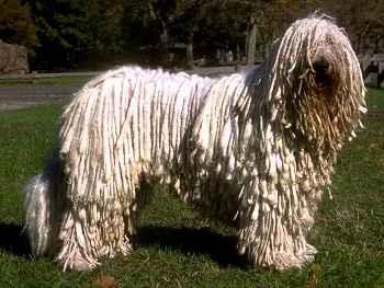 Perro Komondor y su pelo acordonado
