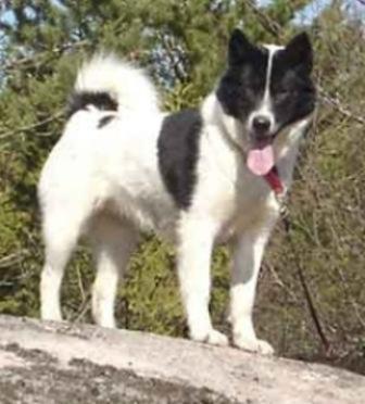 Raza Groenlandes perro de trineo