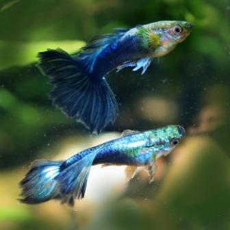 Pez Guppy - Descripción, origen y hábitat