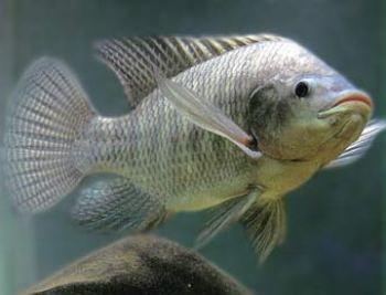 El pez Tilapia especies de cíclidos africanos