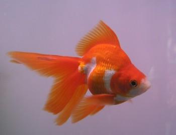 Pez carasio de velos o pez rojo for Pesce oranda