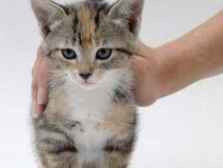 Tener en Cuenta para Adoptar un Gato de Mascota