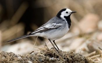 Cualidades del ave Lavandera blanca