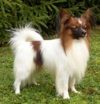 El Epagneul Enano Continental de orejas derechas llamado también 'papillón' o 'mariposa', es un perro pequeño de alzada a la cruz inferior a los 28 cm. y peso máximo de 4,5 kg