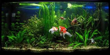 Acuarios de agua fria mascota dom stica for Como cuidar peces de agua fria