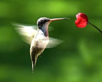 El Colibríes también llamados pájaros mosca