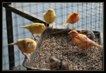 Cómo Criar Canarios reproductores