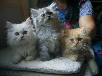 Pelaje y Color de los Gatos Persas