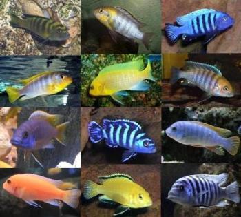 Peces ciclidos africanos for Variedad de peces