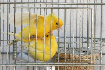 El apareamiento e Incubación de Canarios