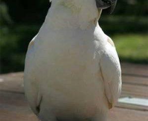 La Cacatúa es una mascota