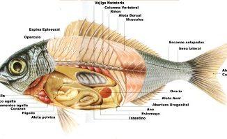 La morfología de los peces
