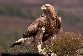 El Aguila Real Características Morfológicas