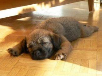 Castrar a un Perro Afecta el Comportamiento