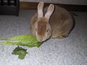 El Conejo Doméstico Características y Alimentación