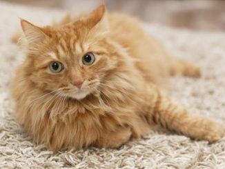 10 Razones para Adoptar un Gato Adulto