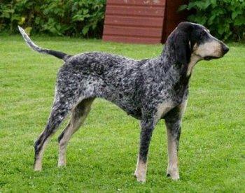 foto de perro de caza - Grand Bleu de Gascogne