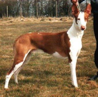 foto de perro de caza - podenco ibicenco