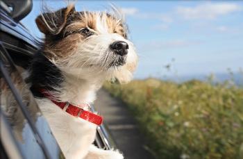 Consejos utiles para viajar en auto con una mascota