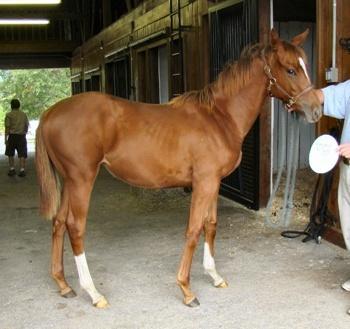 fotos de caballos de pura sangre: