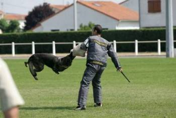 Como Adiestrar Perros de Guardia