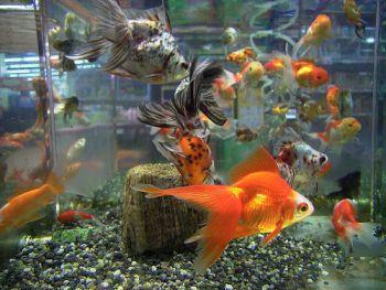 Qu es la acuariofilia desarrollo hist rico de la for Acuariofilia peces ornamentales
