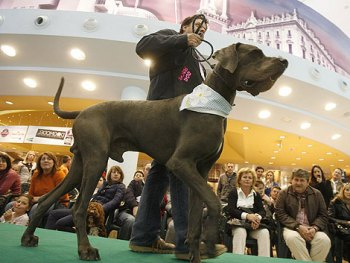 Como Preparar Perros de Exposición y Exhibición