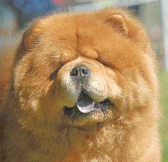 foto chow-chow