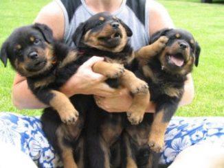 Criaderos de Cachorros de la Raza Rottweiler
