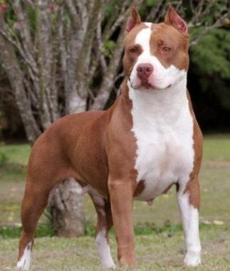 Qué razas de perros se presentan como peligrosas