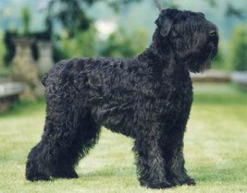 El Terrier Negro Ruso es una raza moderna