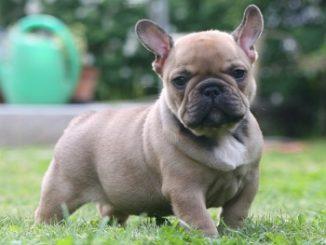 El Bulldog Francés es un perro robusto a pesar de su talla pequeña