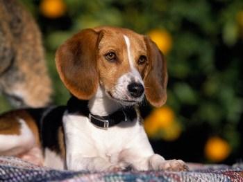 Historia de la Raza Foxhound Americano