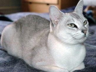 Características del Gato Burmilla
