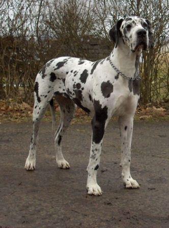 foto de perros grandes del mundo
