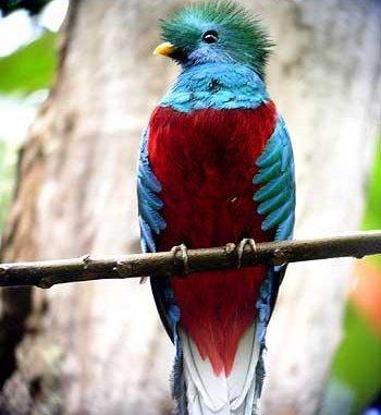 El Quetzal es el Ave Nacional de Guatemala