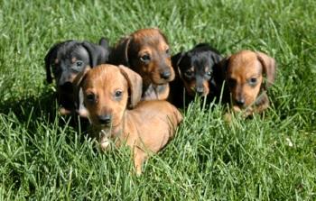 Donde Comprar un cachorro Dachshund o Salchicha