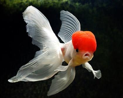 Cu les son los peces conocidos como japoneses for Peces goldfish tipos