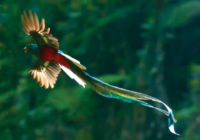 Quetzal en vuelo