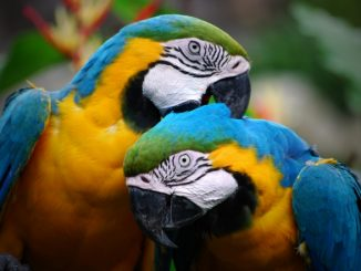 Especies de pájaros que hablan