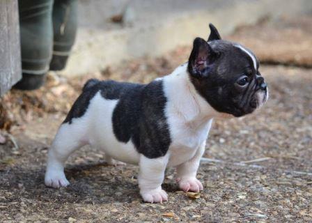Bulldog francés el perro de moda en los últimos años