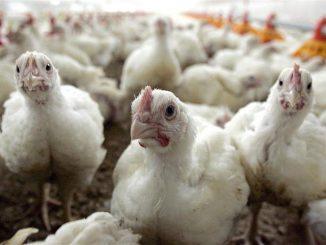 pollos de cria maltrato animal gallinas