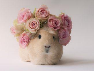Booboo el conejillo de indias más famosa de Internet
