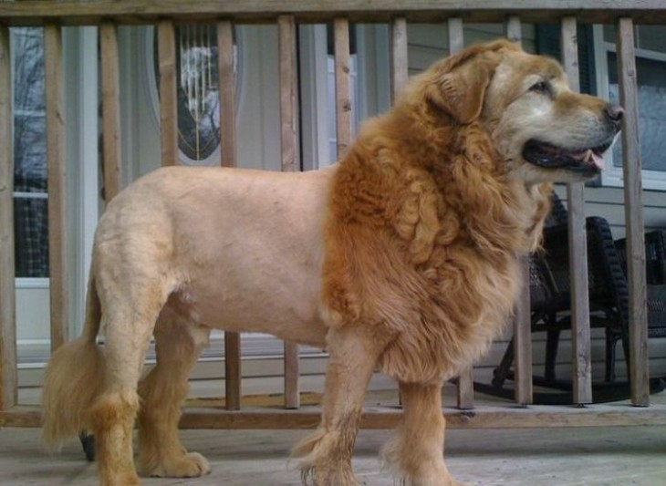 Poodle that looks like a lion